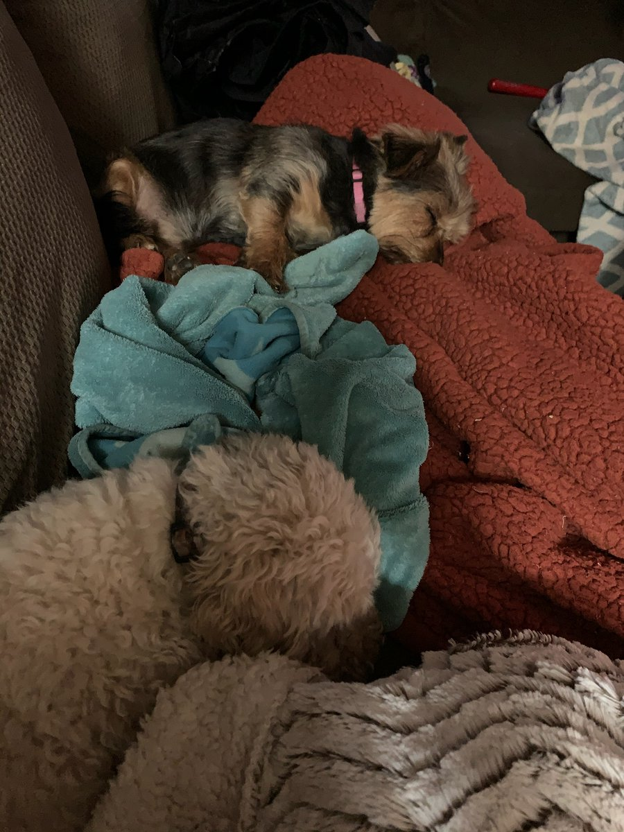 Thumper and Bella went on a very long walk today, they are pooped #yorkshireterrier #wishyouwerehere #lovemypuppies #CoronaLockdown #mutpic.twitter.com/YErFDhlNCo