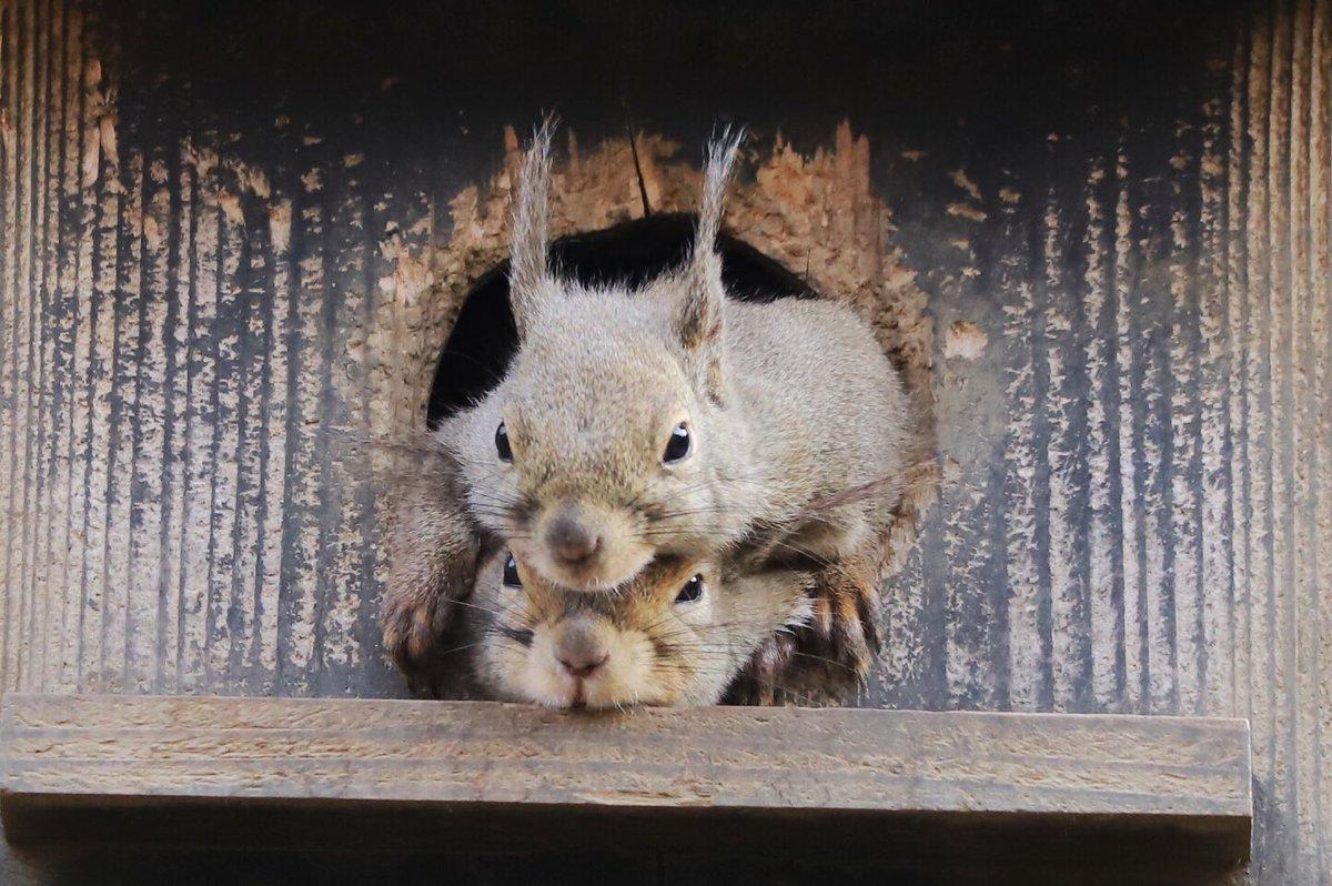 今日はみんなで 引きこもり #井の頭自然文化園 #ムササビ #ニホンリス #リス #リスの小径 pic.twitter.com/fzacrTK5tV