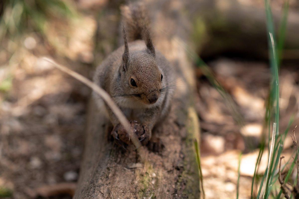 「あれ?そういえば、今日は大鬼小鬼が来ないですね?」  #井の頭自然文化園 #リスの小径 #リス #ニホンリス #squirrelpic.twitter.com/VWVBaOIOCA