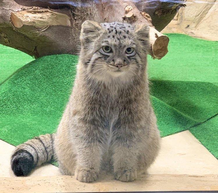 今から動物園のスナネコとマヌルネコに会いに行ってくる☺️