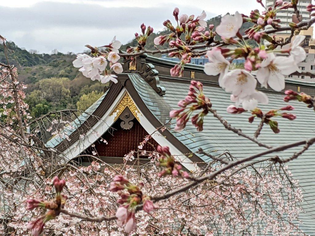 Pretty pink #sakura on my solo morning walk #hiroshima #Japan #SocialDistancingNow #springpic.twitter.com/XDNYe64eq7
