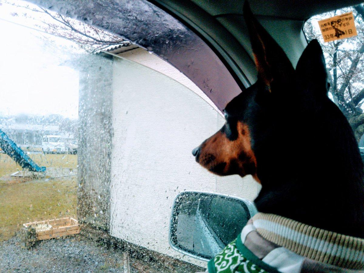 【さあ、どうする!?】  3月28日(土) ドッグランに向け自宅を出たものの、雨が激しくなったので車中待機。 結局、猪の鼻トンネルを抜け徳島県三好市から愛媛県四国中央市を経由したドライブ。 道中の車窓からは、桜が良い感じでしたよ!  #猪の鼻 #三好市 #四国中央市 #桜 #ドッグラン pic.twitter.com/Aw4NbmSkzH