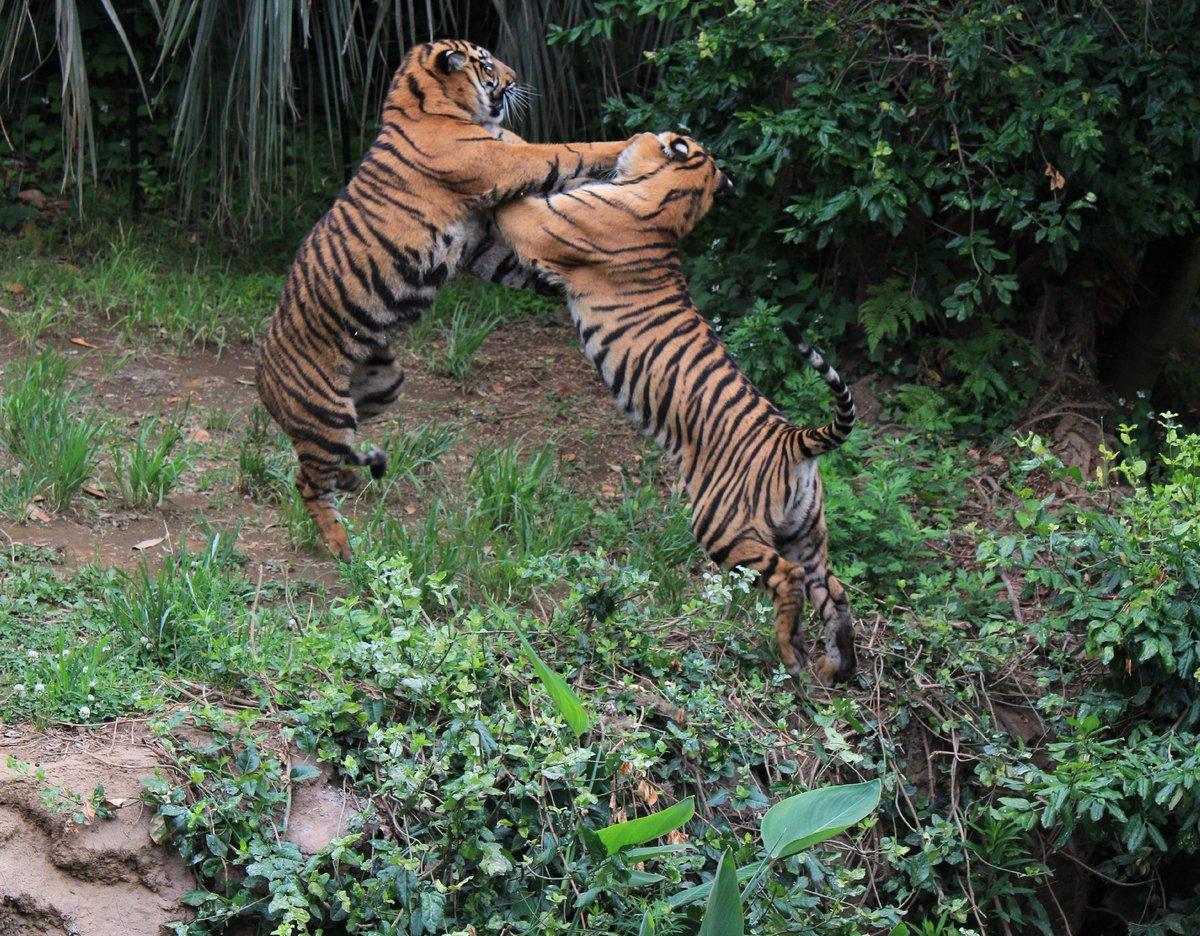 懐かしい写真が出てきた。2015年6月だからダマイとミンピかな。いまならもう少しいい写真が撮れる自信はあるかも… #絶滅から動物を守る  #動物園写真家  #動物写真  #ズーラシア  #スマトラトラpic.twitter.com/V23q1bvvjy