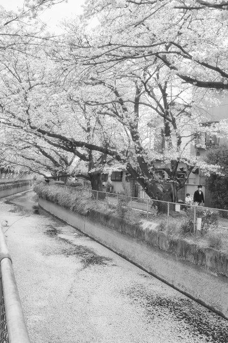 의 미디어: 花筏 #sakura #cherryblossom #blooming #fatheranddoughter #cloudyday #ricohgxrs10 #sakurabloominginjap