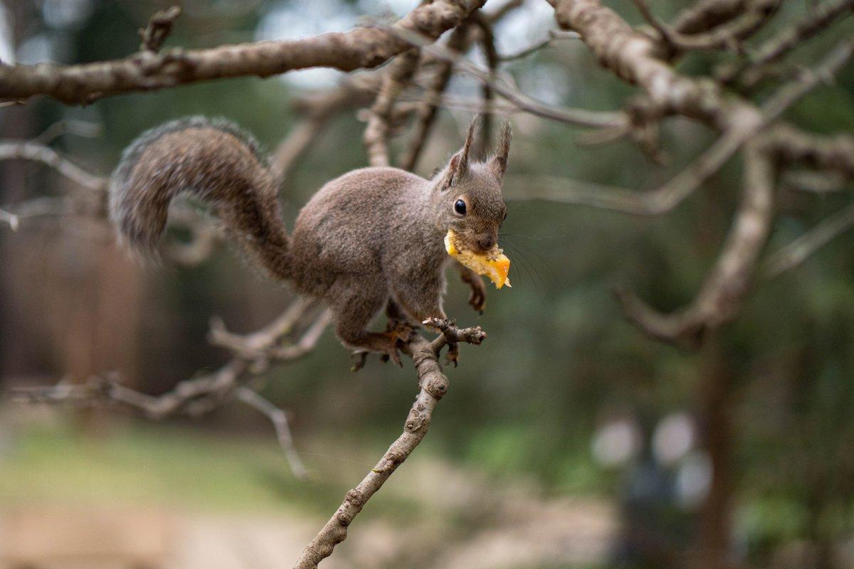 リスさん、そこは苦いよ?  #井の頭自然文化園 #リスの小径 #リス #ニホンリス #squirrelpic.twitter.com/xYgDwUk4v1