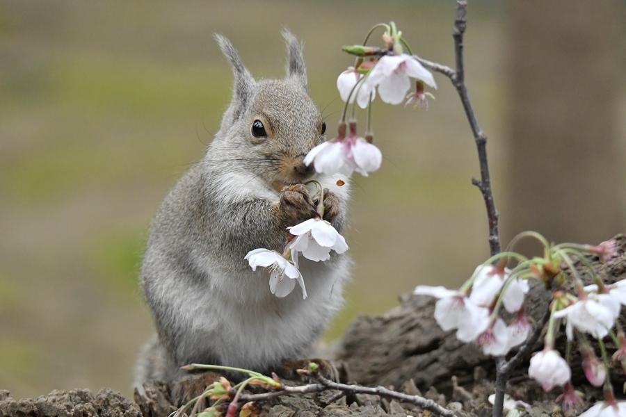 サクラ、サクラ、、、。 #井の頭自然文化園  #休園中 #ニホンリス #リスの小径 #桜pic.twitter.com/s1uQj5t4s5