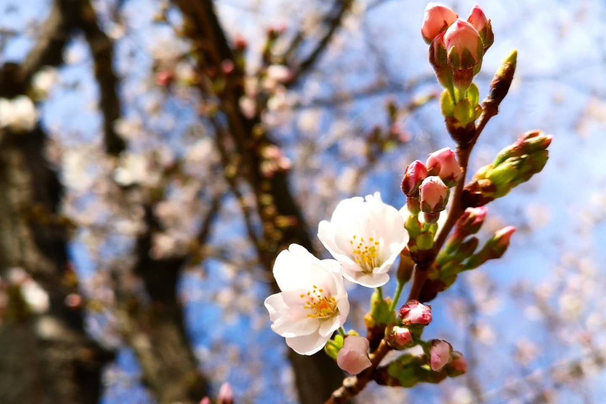 Cherry blossom already arrived! Now in these hard times we should take care of each other. Let's enjoy watching these amazing trees via pictures with our own family in warm, safe home.  #japan #itabashi #sakura #stayhome #Knock Co., Ltd. #株式会社ノックpic.twitter.com/zFTG4wcXMS