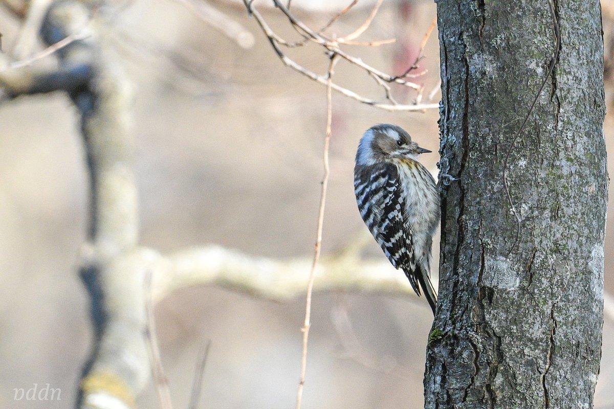 コゲラ…かわいいなぁ  #コゲラ #bird #birds #Japan_nature_photo  #鳥 #野鳥 #野鳥写真 #野鳥撮影 #野鳥観察 #野鳥倶楽部 #バードウォッチング #動物写真 #写真好きな人と繋がりたい #nikon #ニコン #青森県 #津軽pic.twitter.com/imJMLkDkJF