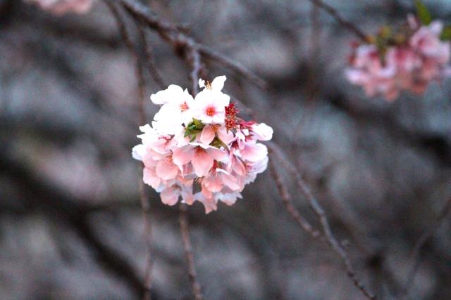 雨で桜が散らないとよいのですが・・・  #たけ美 #目黒 #居酒屋pic.twitter.com/ReIRaMt1FH