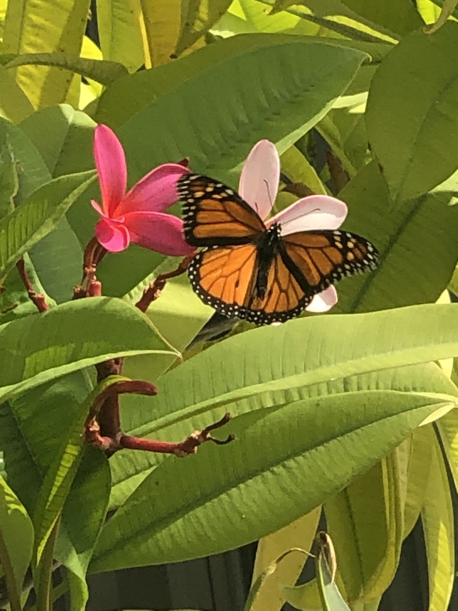 Managed to take a pretty good photo of a monarch butterfly