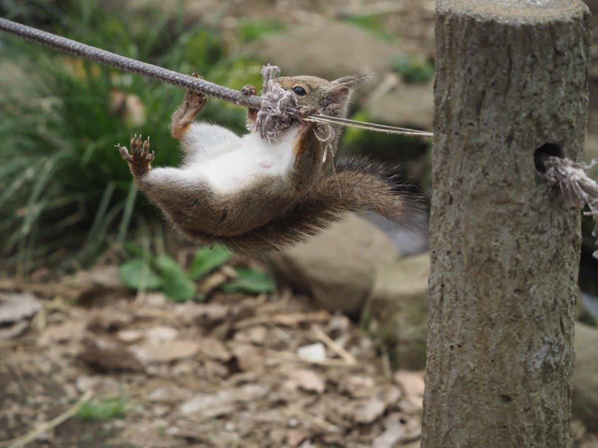 過去写真ですが、必死なリスさんで一時笑ってくださいね。  #ニホンリス  #井の頭自然文化園  #リスの小径 pic.twitter.com/qj3DhnSysi