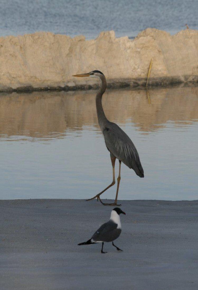From our Florida holiday a few years ago.  #BirdsOfPrey #birds #birding #birdphotography #pelicanspic.twitter.com/EOoD1yNfLL