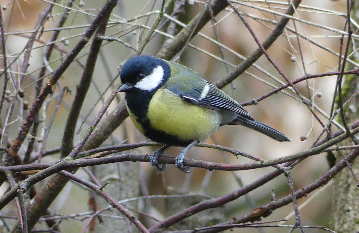 Great tit at Cromwell Bottom LNR. Taken on 3/3/20. #birdtonic #TwitterNatureCommunity #wildlife #wildlifephotography #nature #NaturePhotography #birds #birdphotography pic.twitter.com/P0qqSlrxvg