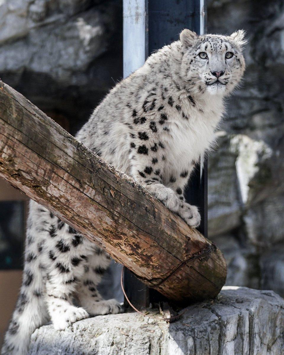 旭山動物園のユキヒョウのユーリちゃん。ジーマお母さんを追いかけているうちに、ずっと登れなかった石柱に登れるようになりました。また一つ新しいことができるようになり、どこか誇らしげです。#ユキヒョウ #旭山動物園
