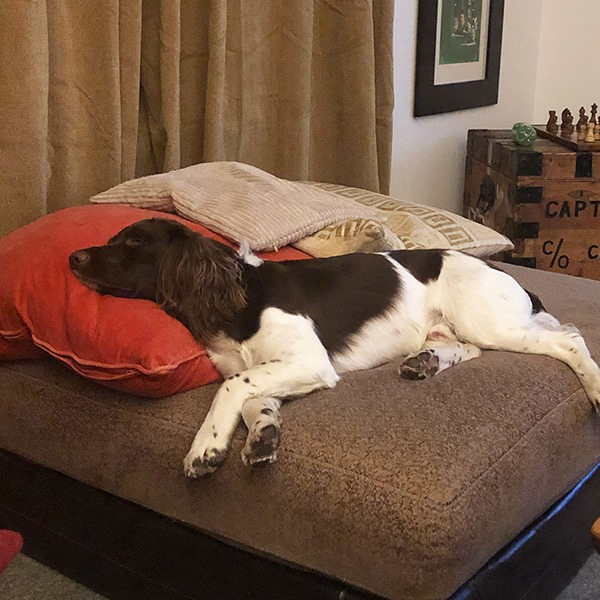 Do you reckon this is pre or post walkies??  #HappyDog #Scotland #Dog #Spaniel #Officedog pic.twitter.com/TTzv1WrkF7