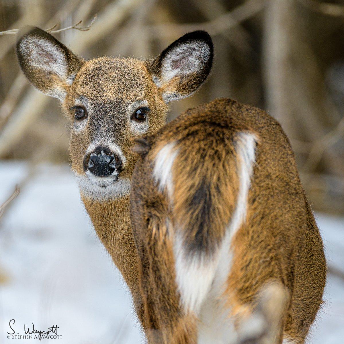 Does this tail make my butt look big?   Saint John, #NewBrunswick, Canada February 2020  #WhiteTailedDeer #deer #nature #wildlife #photography #naturephotography #wildlifephotography #Nikon #D850 #Sigma500sport pic.twitter.com/wVjwYoAy0B