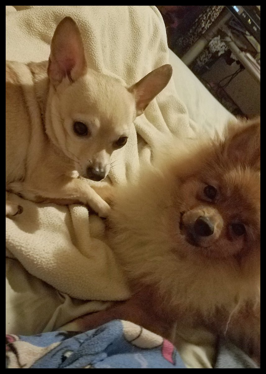 My boys,Pablo & PoohBear#ChihuahuaMomma #PomMom #FurBabies #DogMomLifepic.twitter.com/ysgDaKntE5