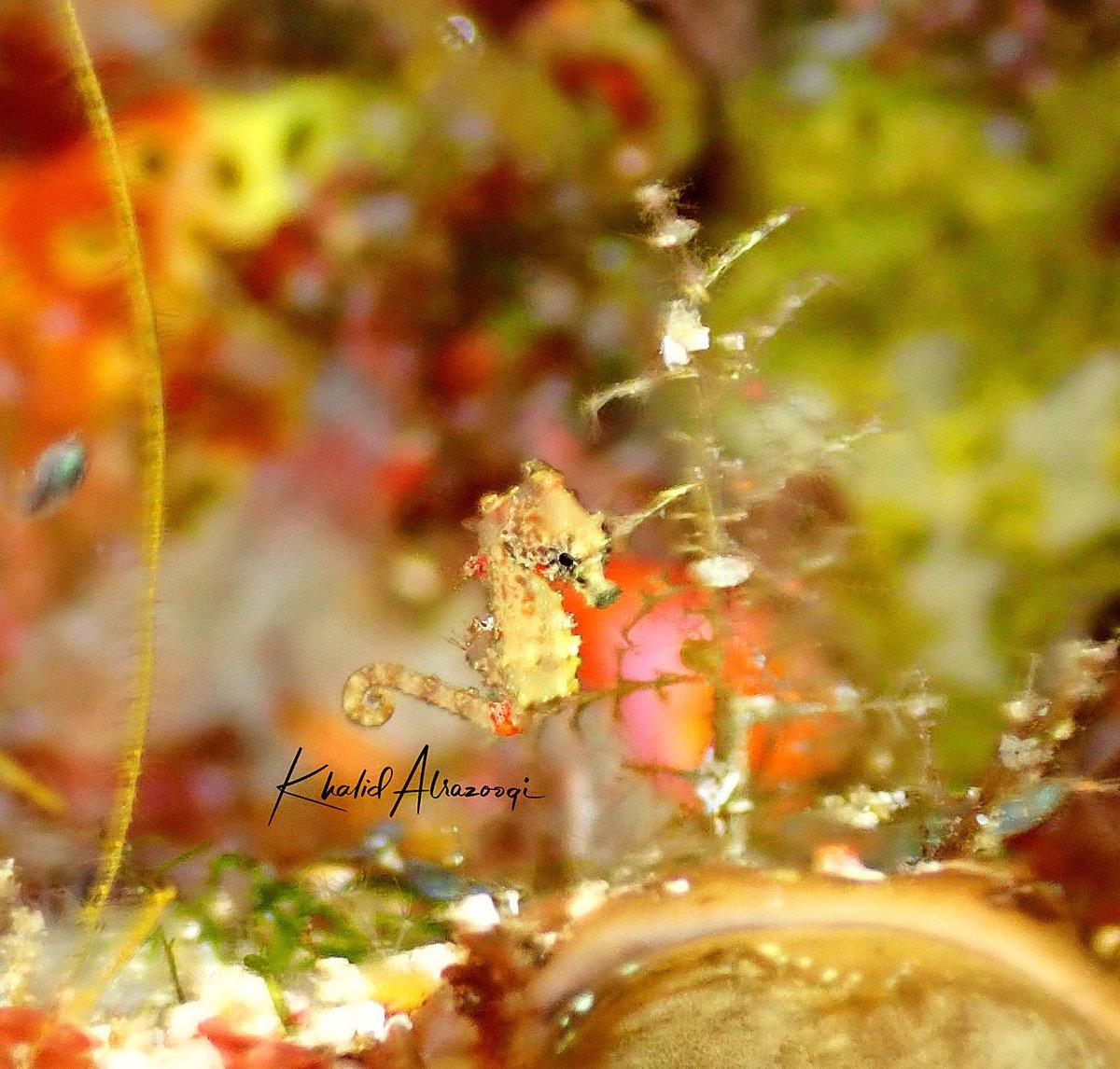 A tiny seahorse  #micro #seahorse #rajaampat   #diving #sea #underwaterphotography #scuba #ocean #scubadiving #dive #fish #nature #padi #water #travelpic.twitter.com/MOX4jqJY3N
