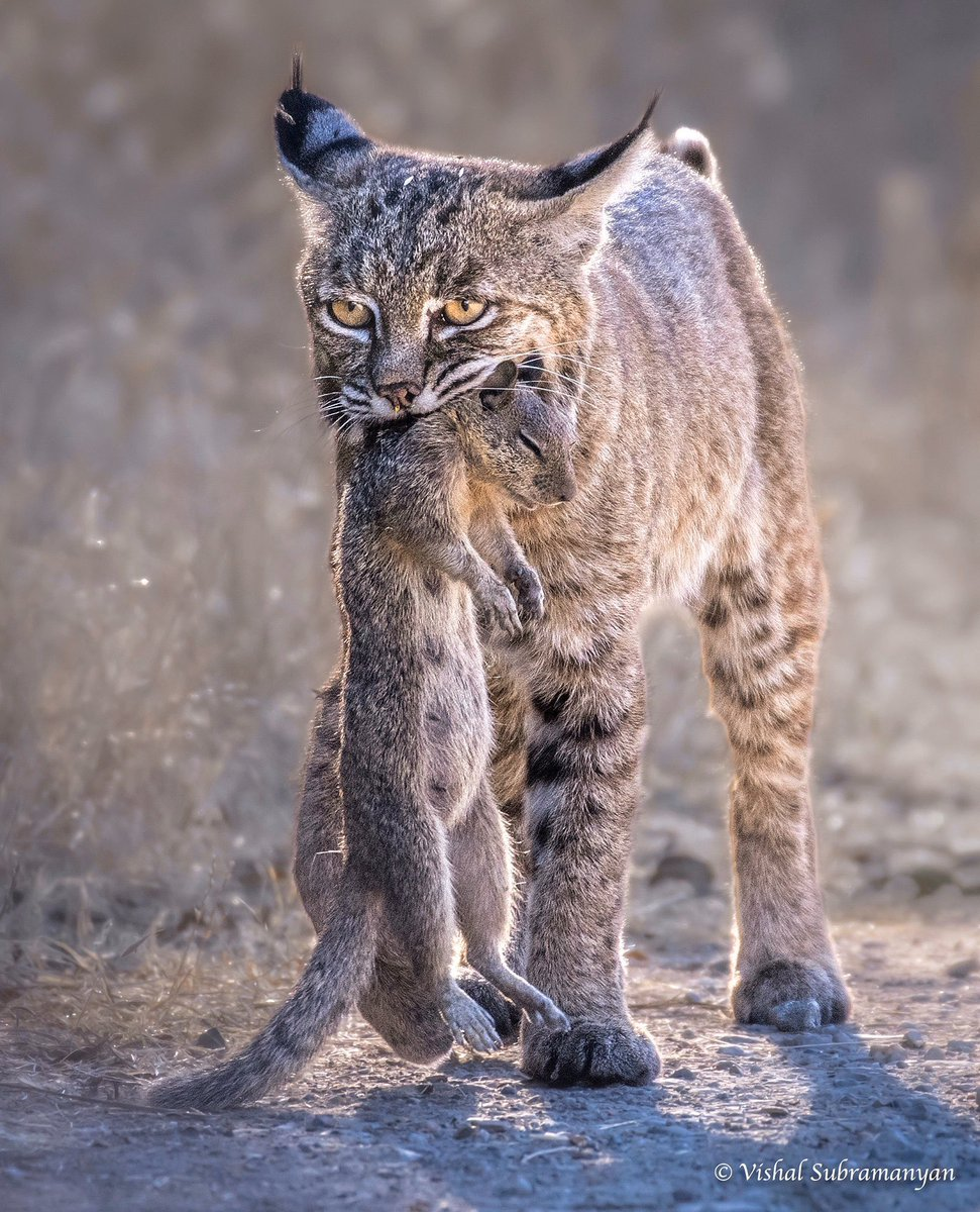 @NeolithicSheep The Free Bobcat Collective offers ground squirrel. In return may we have ready to bake pie crust?