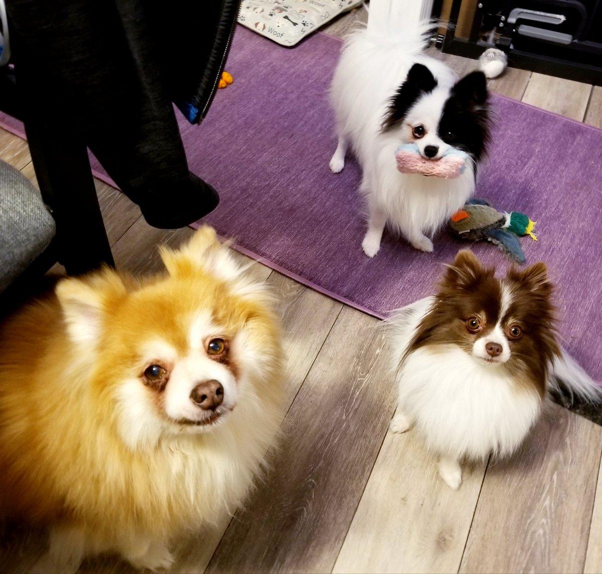 #lovepoms #lovedogs #ilovemydog #doglover #dogsrule #dogshop #dogmom #pommom #pomlife #doglife #pomeranian #pomsofinstagram #pomstagrampic.twitter.com/uBfH6vT8sG