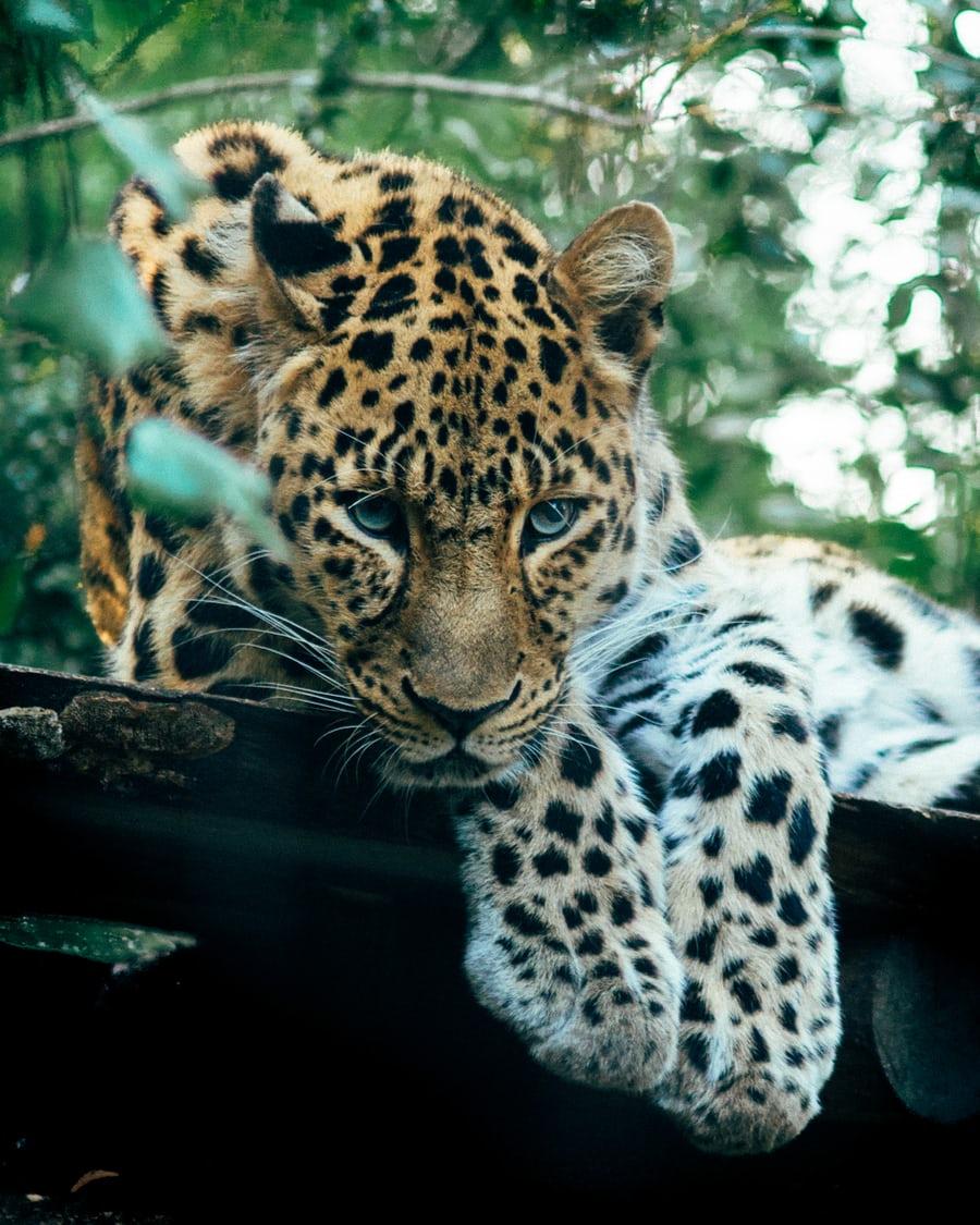 Calvin Klein perfume 'big hit' with Banham Zoo's big cats - https://bbc.in/2ueu3gN  #Perfume #Zoo pic.twitter.com/gPJ4Hw39BL