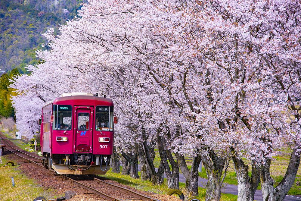 旅行や外出を我慢している人も多いと思うので、写真だけでも旅行気分を味わってもらえれば嬉しいです。  桜並木と並走するローカル列車。  2019年4月 長良川鉄道 関下有知駅付近  #写真 #鉄道写真 #鉄道 #風景写真 #写真好きな人と繋がりたい #旅行 #旅行好きな人と繋がりたい #旅行好き #桜pic.twitter.com/n6Jbc54Zu2