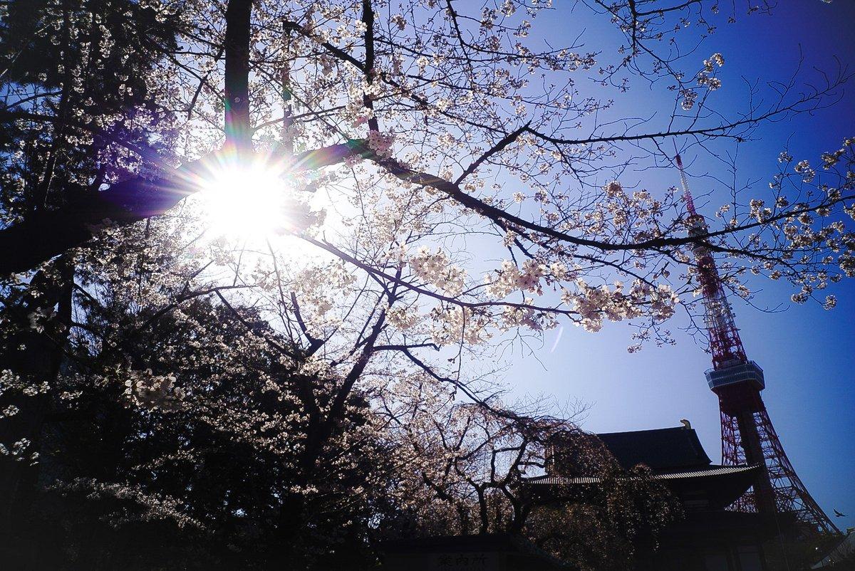 夢は光と共に輝くから。  #港区 #増上寺 #東京タワー #桜 #オールドレンズ  #オールドレンズ倶楽部  #オールドレンズガチ勢  #oldlens #Canon #キヤノン #25mmf35 #ライカLマウント #α7III #SonyAlpha  #東京カメラ部  #はなまっぷ #ファインダー越しの私の世界ᅠ #写真撮ってる人と繫がりたいpic.twitter.com/fnFCZFuA45