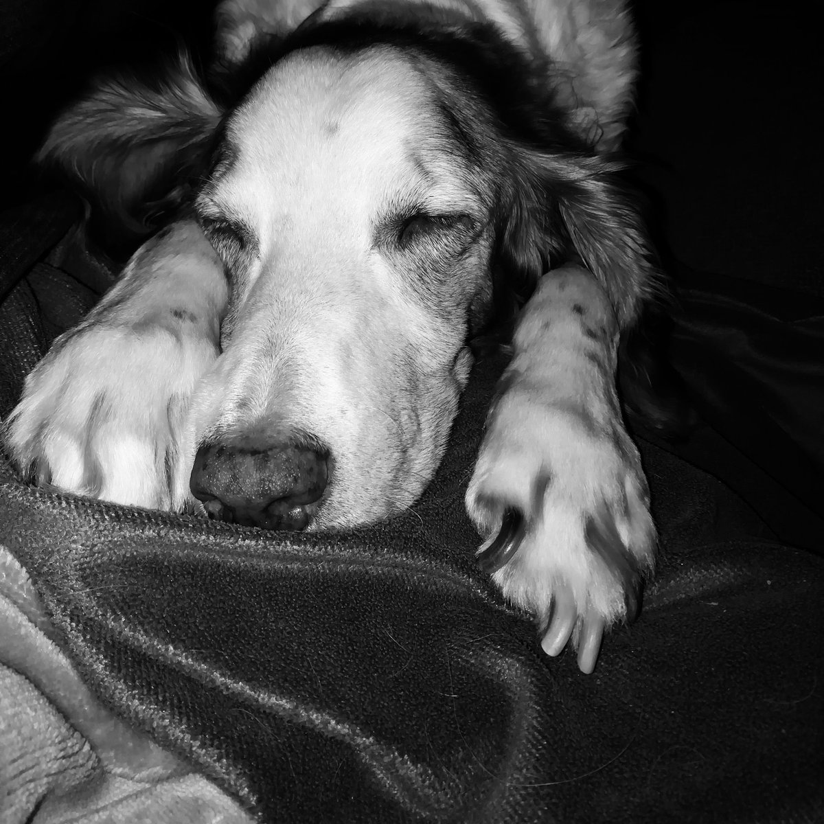 Claws, paws n snores  #blackandwhitephotography  #DogsofTwittter pic.twitter.com/9AUXpQ7V1G