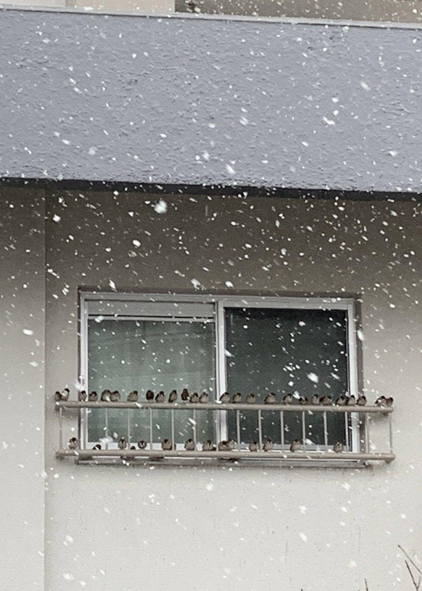 スズメが並んで雪宿りしてる
