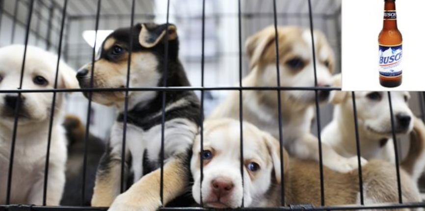 PSA: Busch Will Give You Free Beer If You Foster An Animal During Quarantine barstoolsports.com/blog/2211778/p…