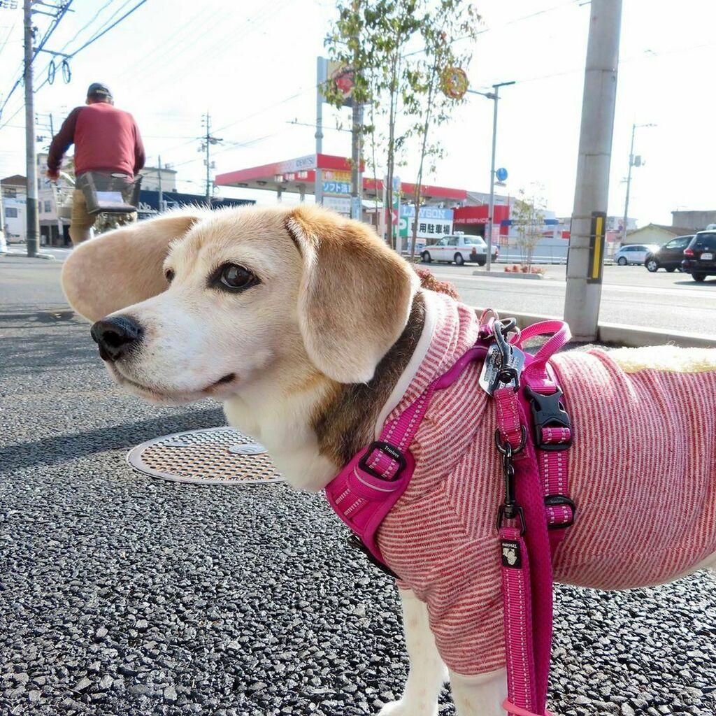 おじさん配達中 #急げシリーズ @beagle_peach #ピーチ #ビーグル #ビーグル犬 #peach #beagle #beagles #dog #dogs #beaglesofinstagram #beaglestagram #beaglelife #beaglemania #beaglelove #dogsofinstagram #dogstagram #doglover #ぴぃち #ぴいち https://ift.tt/2xBCaoDpic.twitter.com/GSUCKvJEi0