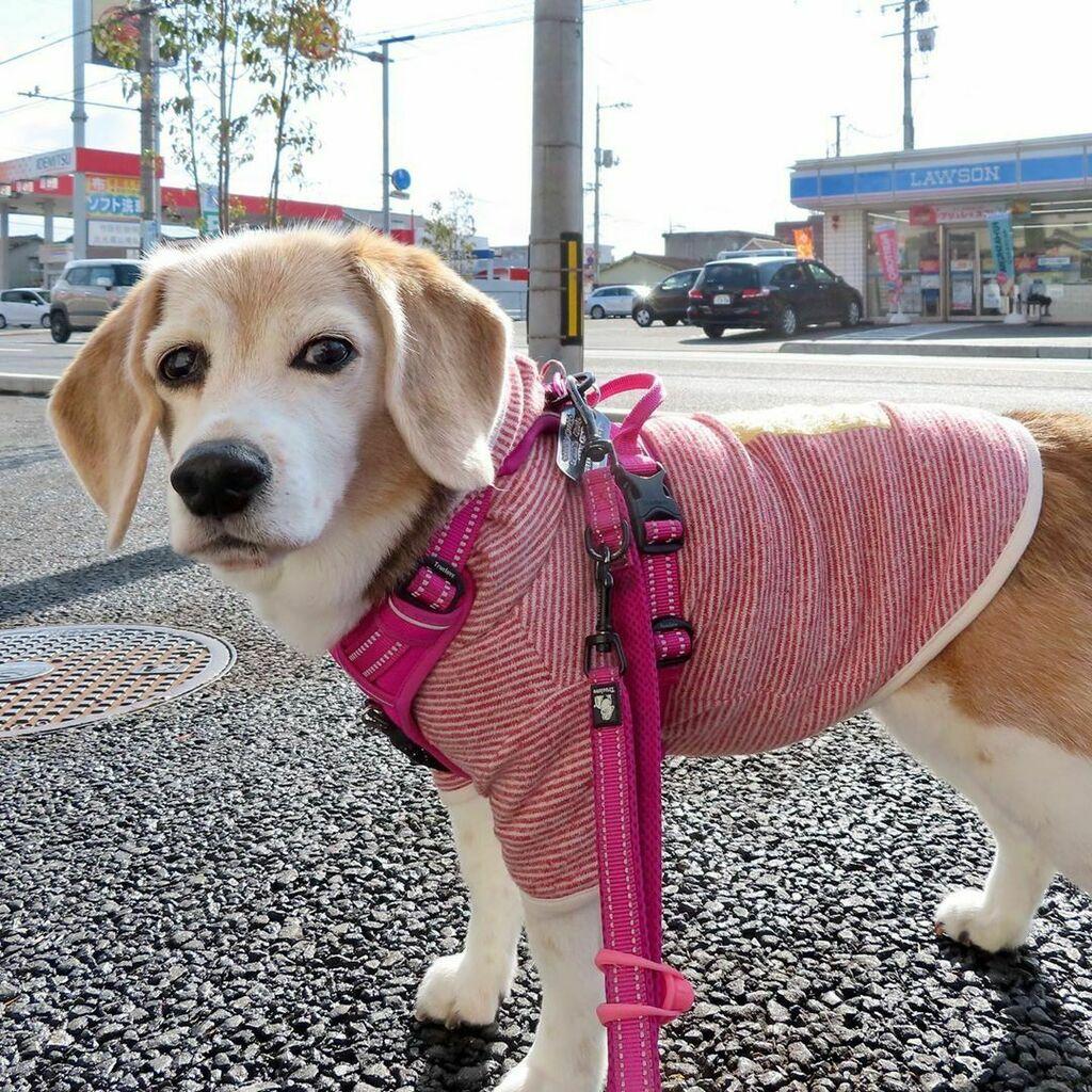雨が止んだ 朝の散歩 #ピーチ #ビーグル #ビーグル犬 #peach #beagle #beagles #dog #dogs #beaglesofinstagram #beaglestagram #beaglelife #beaglemania #beaglelove #dogsofinstagram #dogstagram #doglover #ぴぃち #ぴいち https://ift.tt/3arG0PNpic.twitter.com/5eo3Pi4AI2