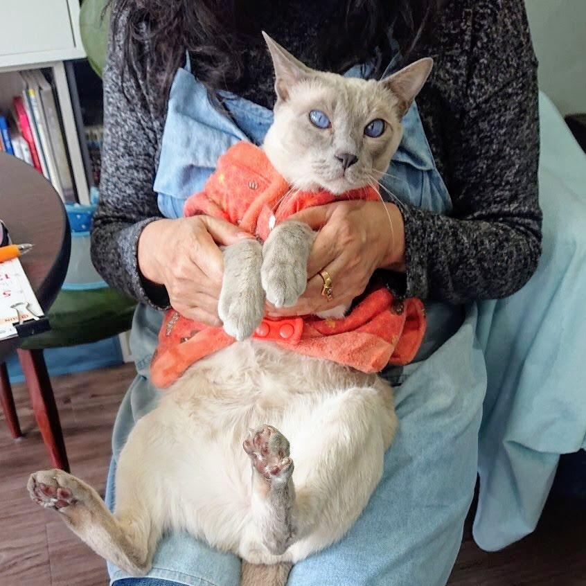 おはようございます  お腹マッサージします ポよポよ きっもちいいニャ~  #猫カフェ #ニャンタジスタ #チェルシー #トンキニーズ #うっとりします #ちょっと太い #大阪 #八尾市 #近鉄河内山本駅すぐpic.twitter.com/iBn83HMUMJ