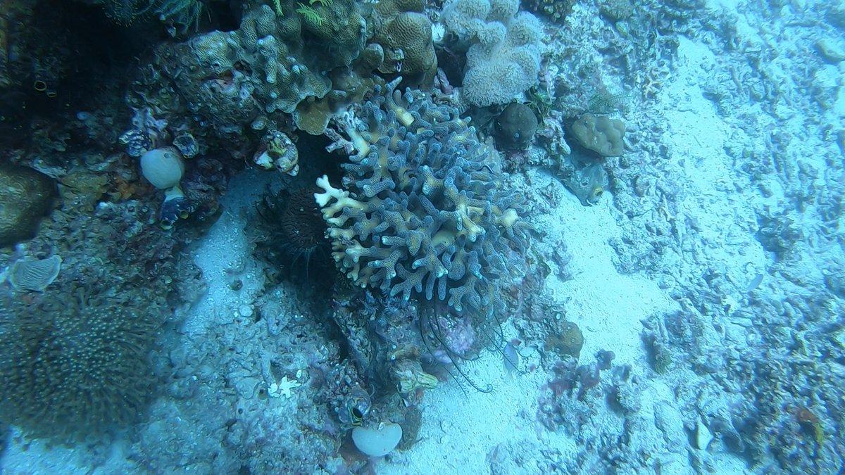 Can you spot the Frogfish? #Indonesia #RajaAmpat #Scuba #Diving #ScubaDiving #Frogfish #beautifulpic.twitter.com/GsAnAsC1uH