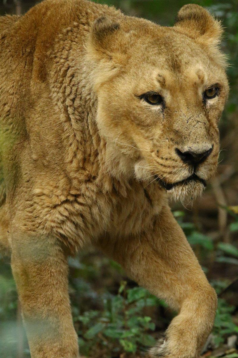 #ツイッターで楽しむ動物展覧会  ズーラシアメインで インドライオンとスマトラトラ #動物園写真家  #動物写真  #ズーラシアpic.twitter.com/y48LuQOuHh