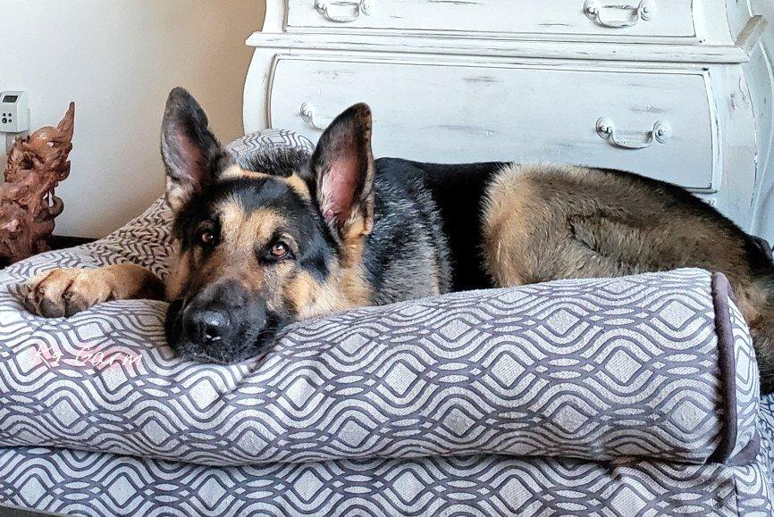 I want to be this comfortable  #K9Garm #SARK9 #dogsoftwitter #dog #dogs #germanshepherd #gsd #moosedog #FaMoosepic.twitter.com/I8mtVice6Y