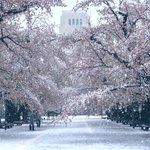 満開の桜に雪が降り積もる景色がエモすぎる件