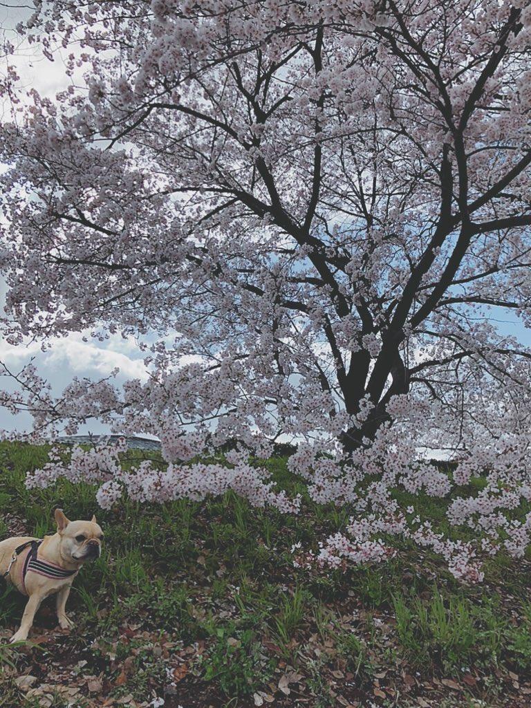 鴨川の桜並木のさんぽ道♡ てくてく歩いて… ママのドーナツを買いに行くんだワン  #鴨川 #京都 #桜 #春の京都 #フレンチブルドッグ #犬との暮らし #桜並木 #フレブル #鼻ぺちゃ #ブヒ #犬と桜pic.twitter.com/YIi8Kx955n
