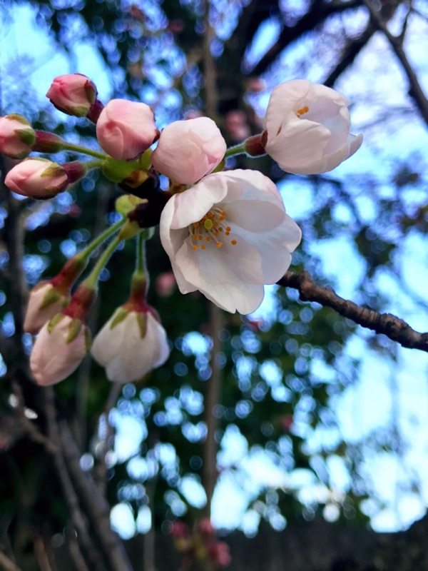 ねこがついてきてくれなかったのでボッチお花見。陽当たり次第でで1〜4分咲ってとこかしら