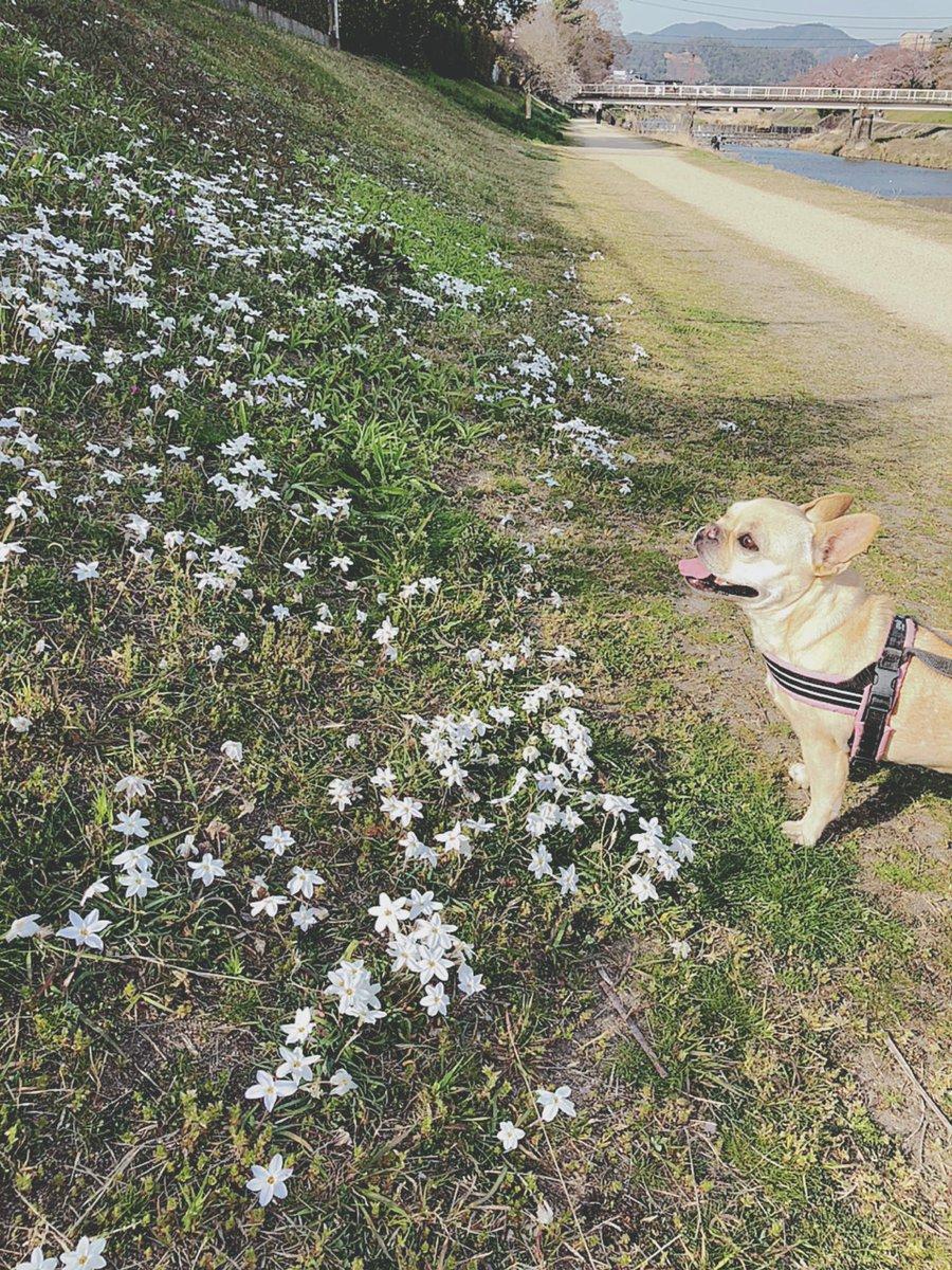 長い雨がやんで 2日ぶりのお散歩ワン〜〜  るんるん♪らんらん〜! あっという間に春が来たワンねぇ  #春 #ハナニラ #桜 #フレンチブルドッグ #花と犬 #ブヒ #フレブル #犬との暮らし #鼻ぺちゃ #京都 #鴨川 #春の京都pic.twitter.com/qjgSbTfpkN