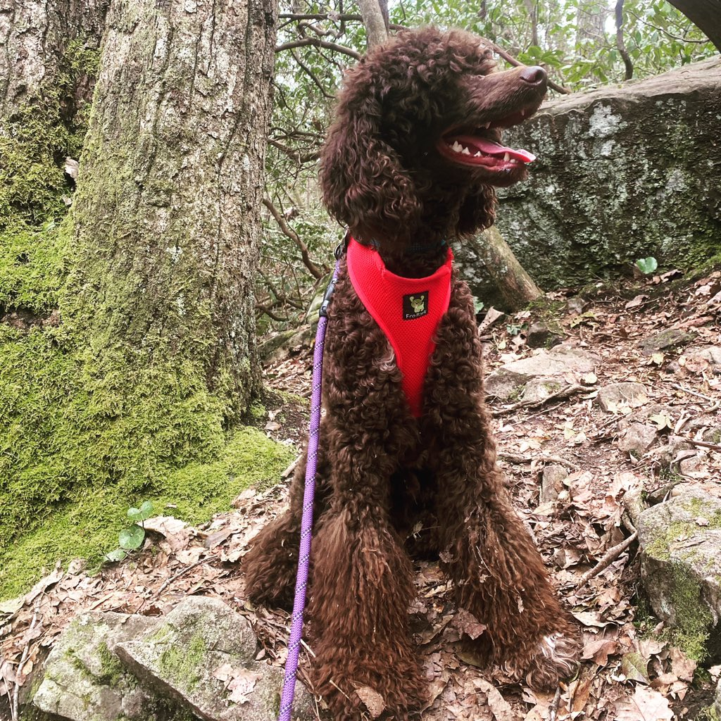 My pretty #oscarthepoodle #growinguptoofast #lolpic.twitter.com/mp7h5Mi32L