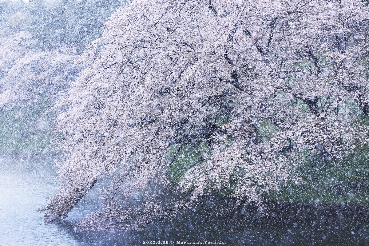 雪と桜の千鳥ヶ淵。