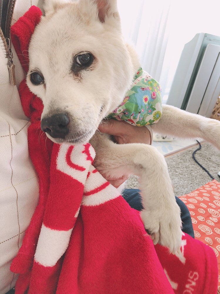 まだまだわたし頑張るワンよ おねぇさんのお土産のバームクーヘンとワッフルうまうましましたワン みんなの元気玉届いてますワン ありがとうワン 来月お誕生日迎えるワンよ~ #秘密結社老犬倶楽部 #老犬介護 #16歳11ヶ月pic.twitter.com/zqL0pJC05F