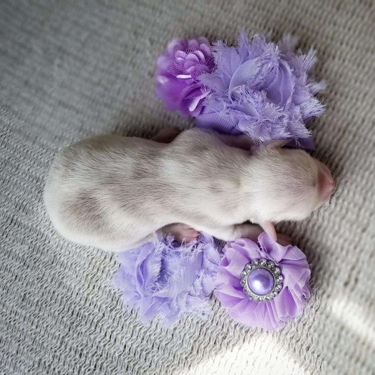 #tinypawsllc #rarechihuahua #lilacmerlechihuahua #puppylover