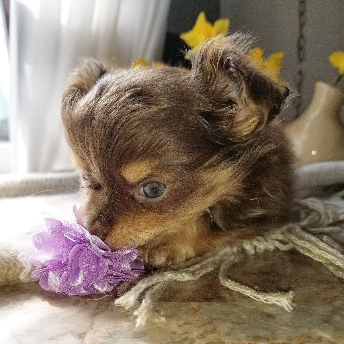 #tinypawsllc #rarechihuahua #appleheadchihuahua #puppylover