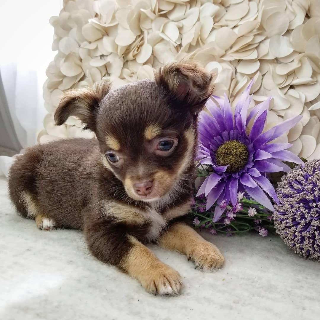 #tinypawsllc #rarechihuahua #tricolorchihuahua #puppylover