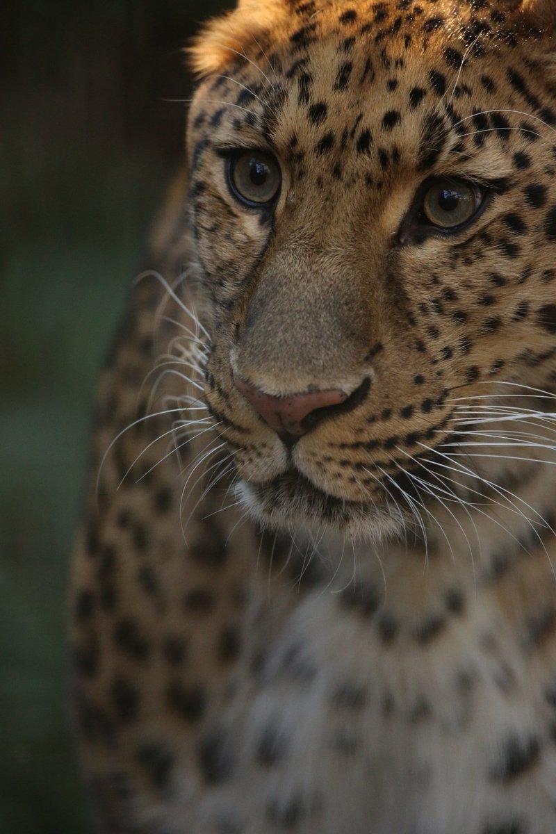 アムールヒョウとチーター。撮影しているとアムールヒョウをチーターとよく間違われる。見比べると違うのですけどねぇ… #絶滅から動物を守る  #ツイッターで楽しむ動物展覧会  #動物園写真家  #動物写真  #ズーラシアpic.twitter.com/1meVZtec6Y
