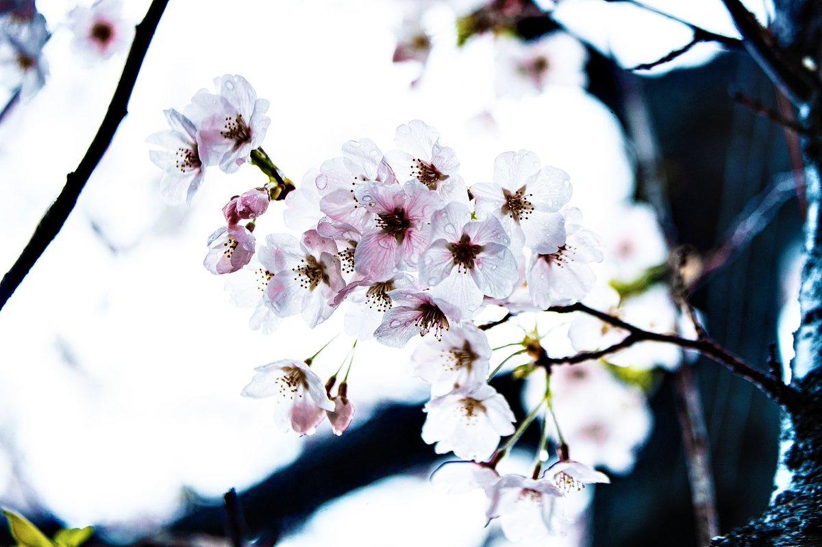雪と桜 #桜 #雪 #奇跡 #フォトグラファー pic.twitter.com/lI9zBALSKa