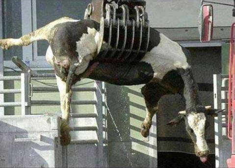 For a glass of milk, grieving cows are forced to give birth annually, their terrified babies are stolen and then killed for veal. Her final reward a one-way trip to the slaughterhouse. Stop Supporting Animal Cruelty GoVegan🌱🌎 #Dairy #Vegan #GoVegan #Antispeciesism #Farms