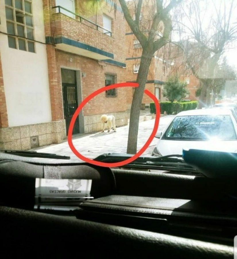 Man Disguises Himself As Dog To Leave The House #Spain  (Courtesy) pic.twitter.com/rck4ivZokg